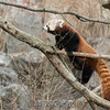 "Red Panda. <br><span class=""skyfilename"" style=""font-size:14px"">2017-12-26_washington_0014</span>"