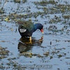 "Purple Gallinule <br><span class=""skyfilename"" style=""font-size:14px"">2017-02-13_wild_florida_0351</span>"