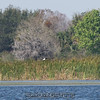 "Bald Eagle. <br><span class=""skyfilename"" style=""font-size:14px"">2017-02-13_wild_florida_0362</span>"