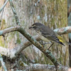 """Bell's Vireo <br><span class=""""skyfilename"""" style=""""font-size:14px"""">2017-02-13_wild_florida_0118</span>"""