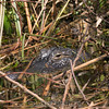 """Mother and baby alligator. <br><span class=""""skyfilename"""" style=""""font-size:14px"""">2017-02-13_wild_florida_0296</span>"""
