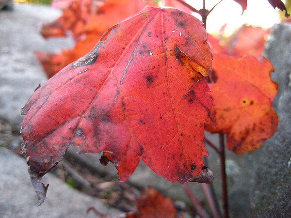 Red Leaf on Terrace Mountain