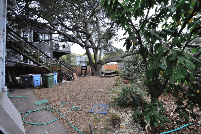 Oak Tree 2915 Hillegass Bruce Dickenson