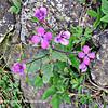 Perennial Honesty - Lunaria rediviva