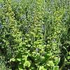 Scophularia vernalis