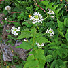 Garlic Mustard - Jack by the Hedge -Alliaria petiolata
