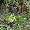 Butterwort in flower, a magical plant in Scottish highlands, on Colonsay if you picked  Butterwort it protected you from witches