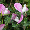 Common Rest-Harrow(Ononis repens) Gael -Sreang Bogha)  'Bowstring' in Scotland called the Lady Whin