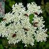 Hogweed flower head and seed head