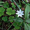 Wood Sorrel - Oxalis acetosella, local name  Lady's clover, once cultivated for sauce