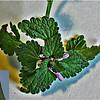 Ground Ivy - (Glechoma hederacea)