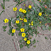 Silverweed - Potentilla anserina, Local Scot. Dog tansy, once culitivated for its roots  before introduction of potatoes, they were cooked or eaten raw and were dried  and ground into meal for bread and porridge