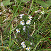 Eyebright - Euphrasia officinalis