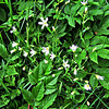 Greater Stitchwort a plant under protection, belonging to the devil