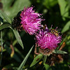 Common Knapweed(centaurea nigra)also known as Hardheads. Gael:Cnapan Duph (little black knob, throughout Scotland. Local name in Scotland - Horse Knot<br />  This photo taken on path at Morton Loch leading to Railway Hide