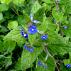 "Pentaglottis sempervirens (green alkanet, evergreen bugloss or alkanet) is a bristly, perennial plant native to Western Europe. It grows to approximately 60 cm (24"") to 90 cm (36""), usually in damp or shaded places <br /> Gael : Bog-lus (Soft plant)"