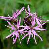 Ragged Robin (Lychnis flos cuculi) Scottish name , Meadow Spink