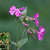 Red campion and seed heads