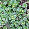 Chrysosplenium (golden saxifrage They are soft herbaceous perennial plants growing to 20 centimeters tall, typically growing in wet, shady locations in forests.
