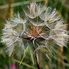 Goat's Beard also called Jack-go-to-bed-at-noon the flowers disappear at noon (Tragopogon pratensis)