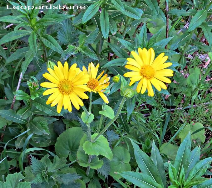 Leopardsbane -Dorinicum pardalianches (Gael-Big yellow flower)