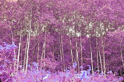 Magenta, Silver Birches