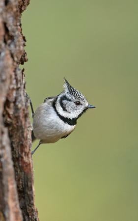 Bird Photos: Flycatchers, Tits and Shrikes