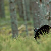 Capercaillie 2