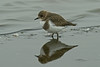 Two-banded Plover juvenile 3