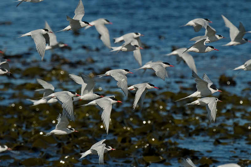 South American Terns