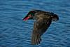 Blackish Oystercatcher 1