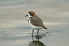 Two-banded Plover 2