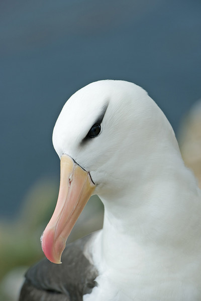 Black-browed Albatross 8