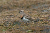 Rufous-chested Dotterel 1