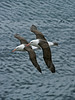 Black-browed Albatross 5