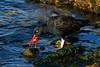 Blackish Oystercatcher 2