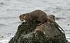 Otter 4 Shetland April 2013