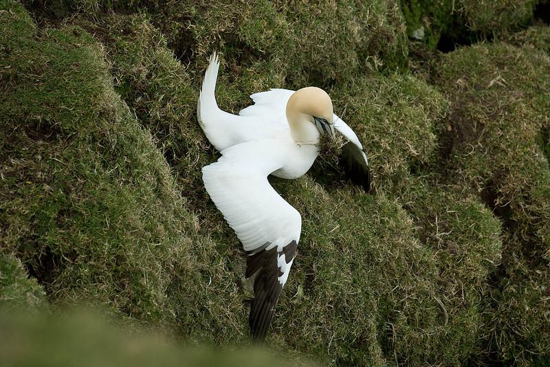 Gannet collecting nest material Shetland April 2013