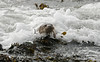 Otter 6 Shetland April 2013