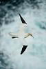 Gannet 2 Shetland April 2013