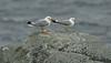 Common Gulls Shetland April 2013