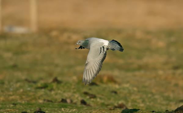 Bird Photos : Pigeons, Doves and Cuckoos