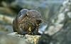Otter 8 Shetland April 2013