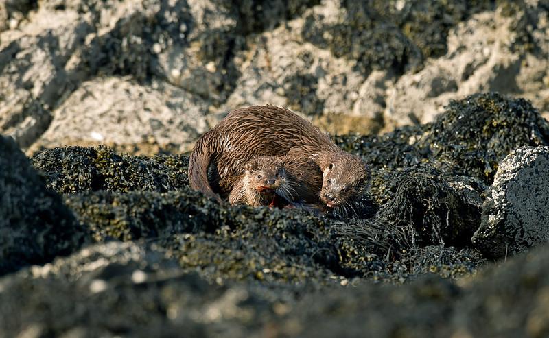 Otters 2 Shetland April 2013