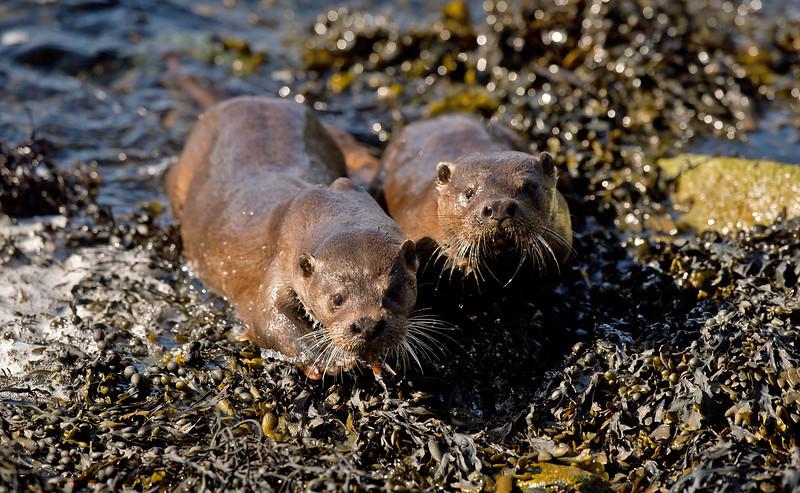 Otters 1 Shetland April 2013