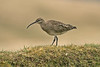 Whimbrel, Shetland April 2013