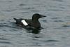 Black Guillemot Shetland April 2013
