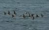 Long-tailed Ducks 1 Shetland April 2013
