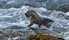 Otter 9 Shetland April 2013