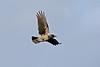 Hooded Crow 2 Shetland April 2013